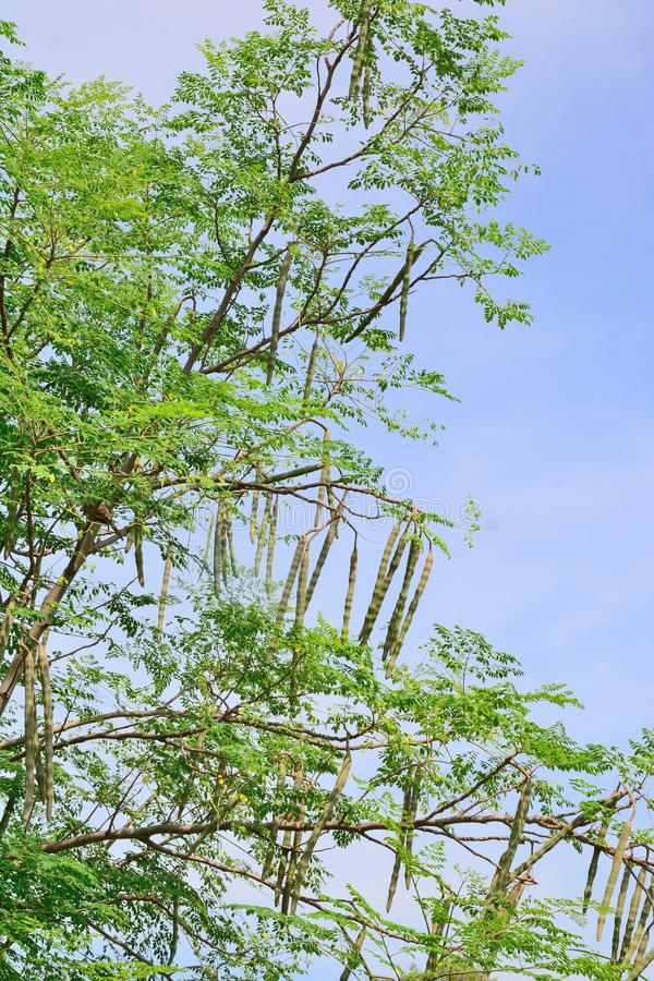Group of Moringa on branch tree with blue sky background stock photography