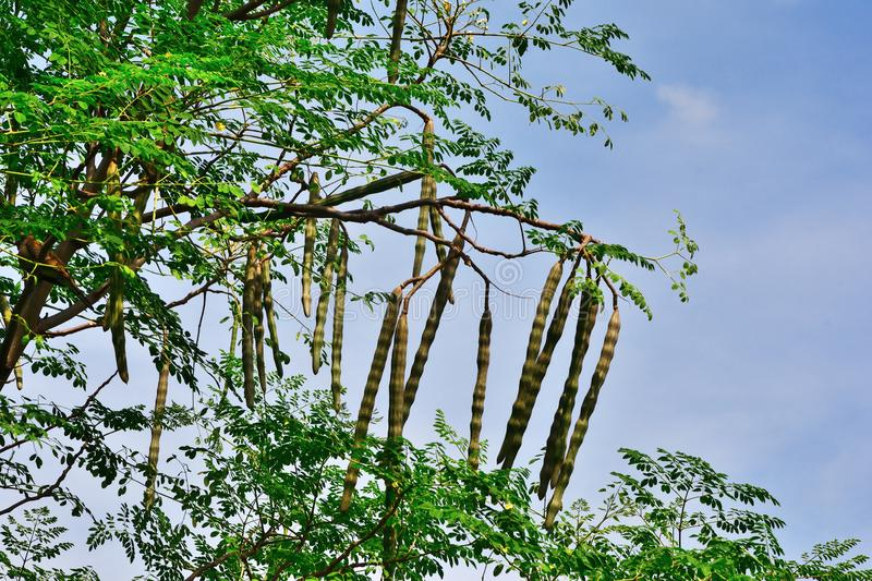 Group of Moringa on branch tree with blue sky background stock image