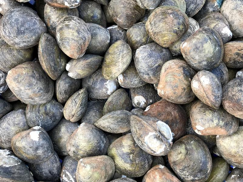 Group of mussels at the market in Thailand royalty free stock photo