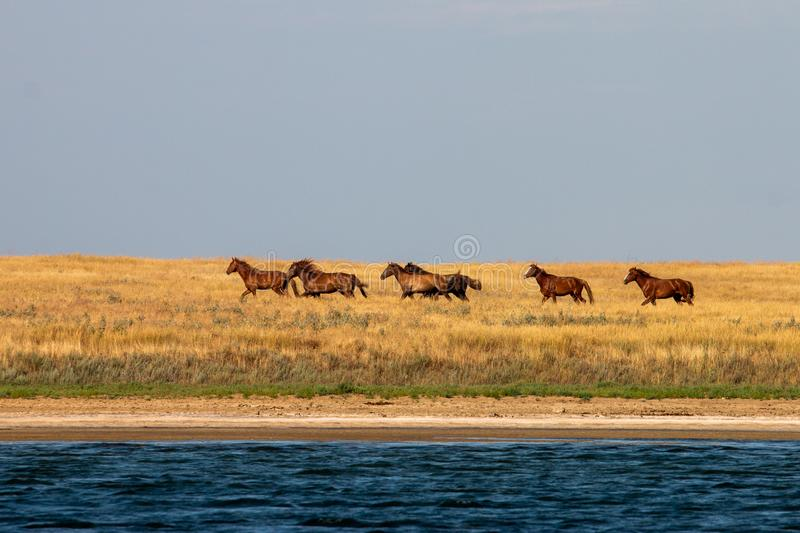 A group of mustangs rides in the steppe along the river in southern Russia. Wild horses gallop along the steppe along the riverbank. Photo taken on a sunny stock photo