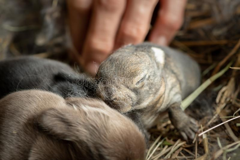 A group of newborn rabbits lying in the nest stock photography