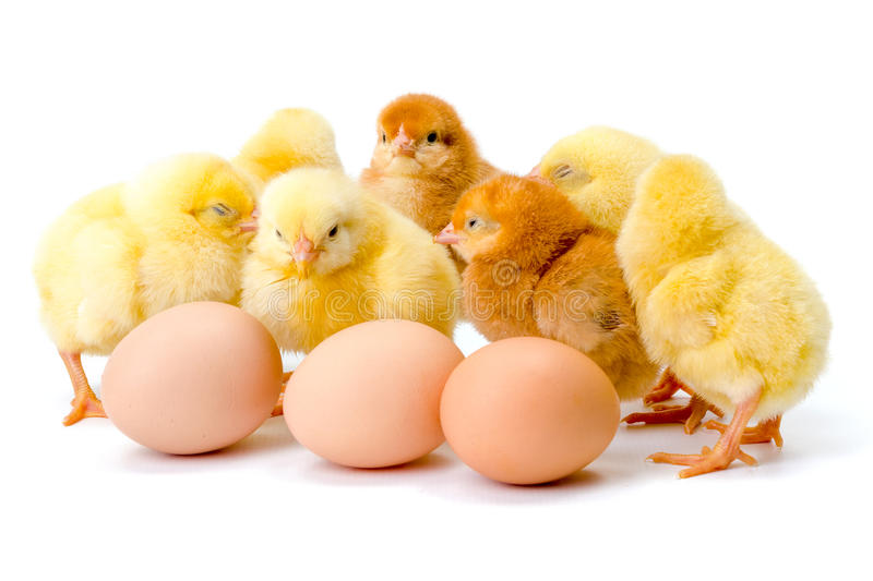Group of newborn yellow chickens with eggs. On white stock photo