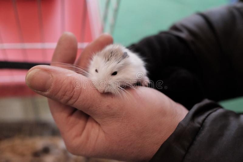 Group newly born Russian hamsters stock photos
