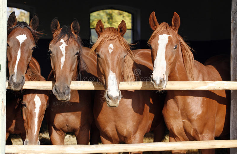 Group of nice thoroughbred foals looking over stable door. Purebred chestnut young racehorses looking over the barn door stock photos