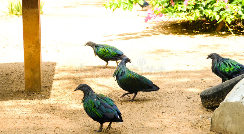 A group of Nicobar pigeon standing on soil ground royalty free stock photo