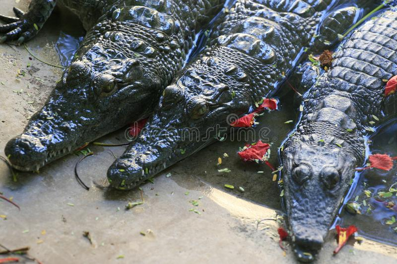 Group of Nile crocodile babies, Crocodylus niloticus, floating and resting in a zoo among red flowers. royalty free stock image