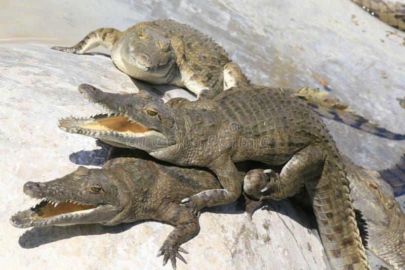 Group of Nile crocodile babies, Crocodylus niloticus, resting under the sun. Group of Nile crocodile babies, Crocodylus niloticus, resting under the sun royalty free stock photos
