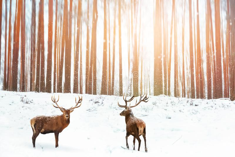 Group of Noble red deer in the background of a winter fairy forest. Snowing. Winter Christmas holiday image royalty free stock photos