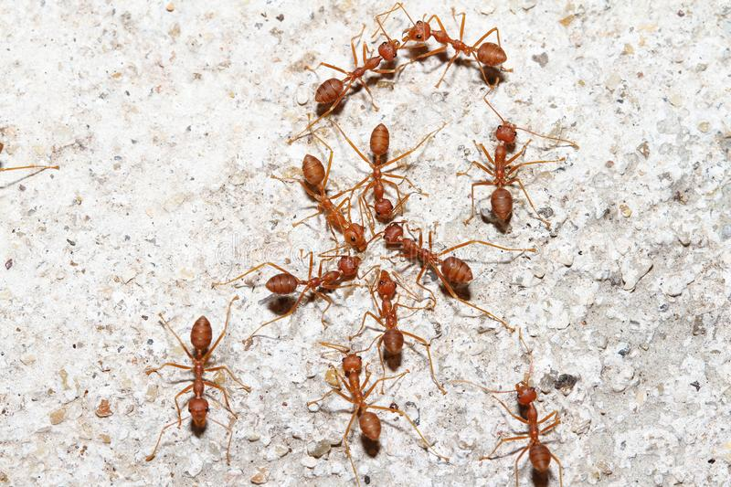 Group Oecophylla smaragdina Fabricius & x28;red ant& x29; on floor. Group Oecophylla smaragdina Fabricius & x28;red ant& x29; on floor royalty free stock photos
