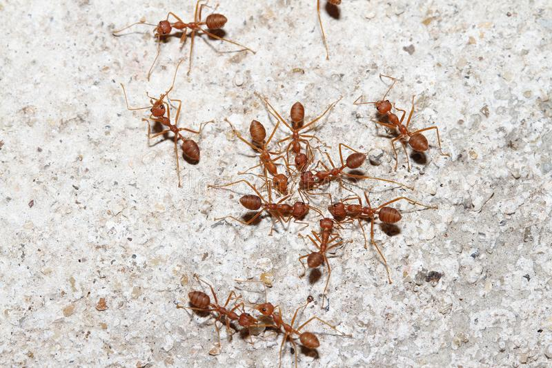 Group Oecophylla smaragdina Fabricius & x28;red ant& x29; on floor. Oecophylla smaragdina Fabricius & x28;red ant& x29; on floor royalty free stock photography