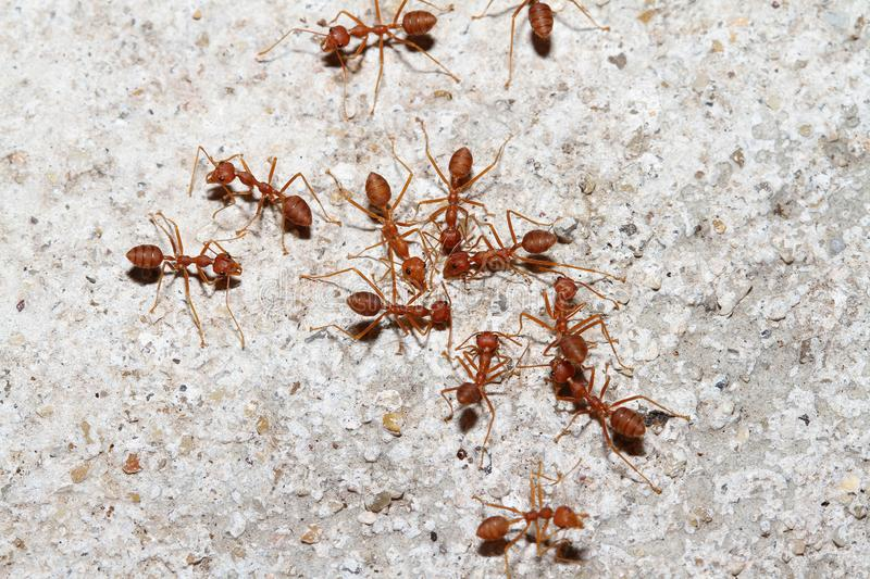 Group Oecophylla smaragdina Fabricius & x28;red ant& x29; on floor. Oecophylla smaragdina Fabricius & x28;red ant& x29; on floor royalty free stock image