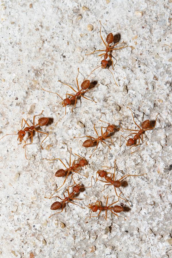 Group Oecophylla smaragdina Fabricius & x28;red ant& x29; on floor. Group Oecophylla smaragdina Fabricius & x28;red ant& x29; on floor stock image