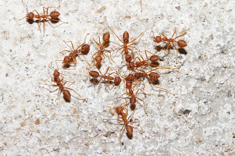 Group Oecophylla smaragdina Fabricius & x28;red ant& x29; on floor. Group Oecophylla smaragdina Fabricius & x28;red ant& x29; on floor stock photos