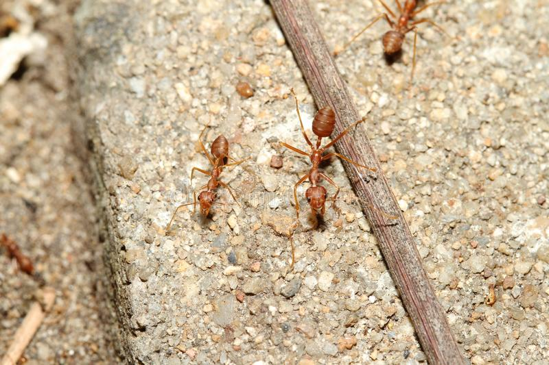 Oecophylla smaragdina Fabricius & x28;red ant& x29; on floor. Group Oecophylla smaragdina Fabricius & x28;red ant& x29; on floor stock image