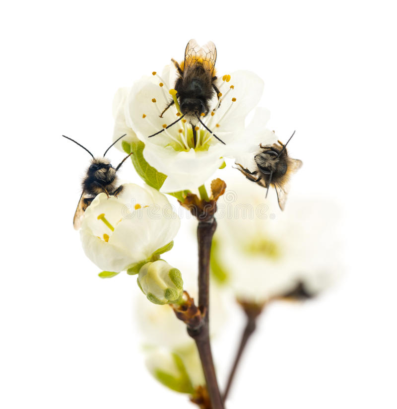 Free Group Of Bees Pollinating A Flower - Apis Mellifera, Isolated On Royalty Free Stock Images - 39622319