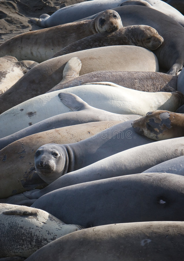 Free Group Of Elephant Seals Royalty Free Stock Image - 2588036