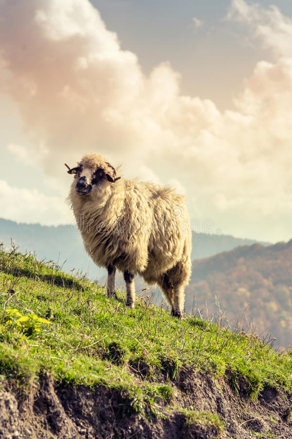 Free Group Of Sheep Stock Image - 59899591