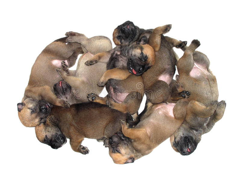 Group of one month old sleeping puppies on white background stock image