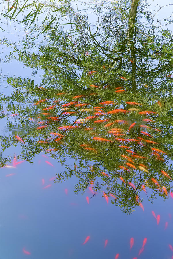 Group of orange-colored koi fich in pond stock photography