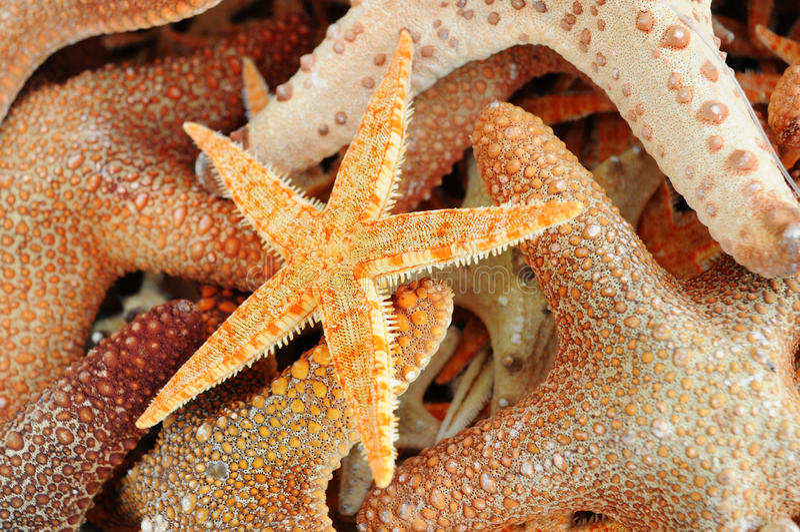 Group of orange starfish royalty free stock photo
