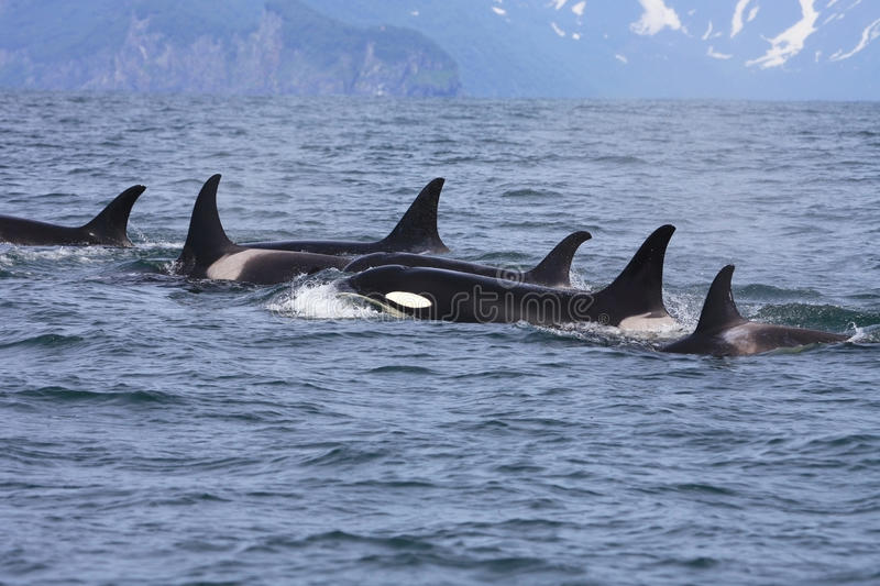 Group of orcas in the wild stock photo