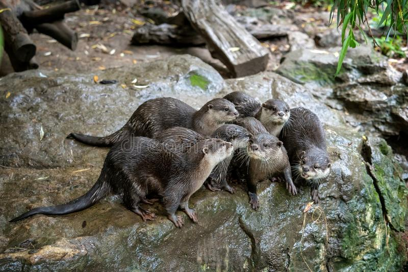 Group of oriental small-clawed otter Amblonyx cinereus. Also known as the Asian small-clawed otter stock photo