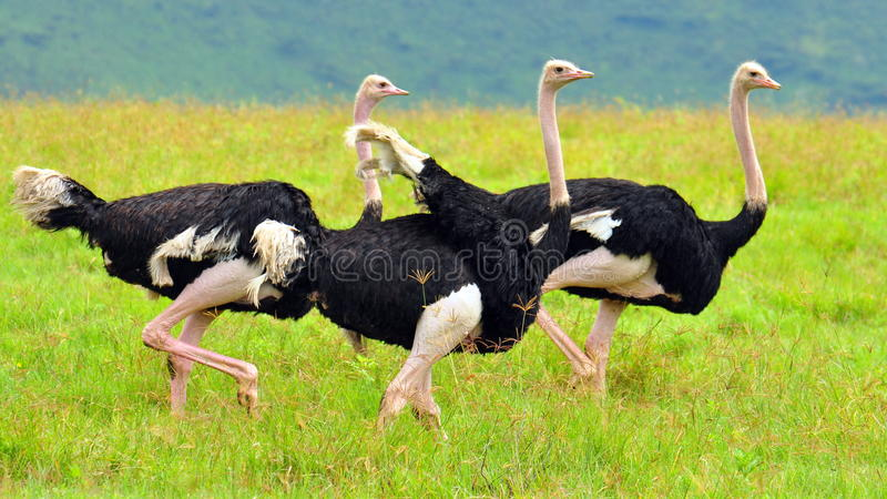 A Group of Ostriches royalty free stock image