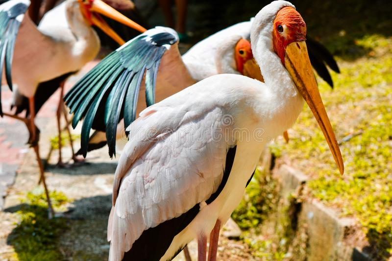 A group of painted storks stock photo