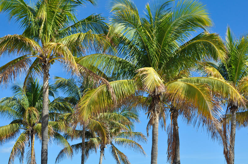 Group of palm trees on blue sky in Hawaii royalty free stock images