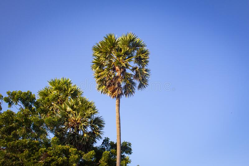 Group of palmyra palm trees with blue sky background in Pulicat, Tamil Nadu, India. Pulicat is a town located north of Chennai.  stock image