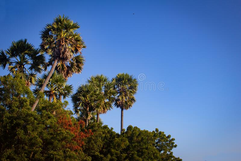 Group of palmyra palm trees with blue sky background in Pulicat, Tamil Nadu, India. Pulicat is a town located north of Chennai.  stock photos