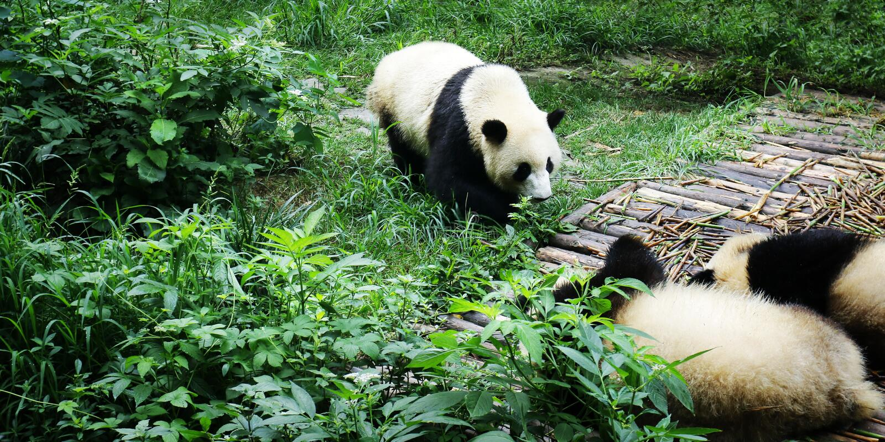 Panda eating bamboo royalty free stock image