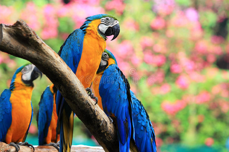 Group parrot macaws royalty free stock photography