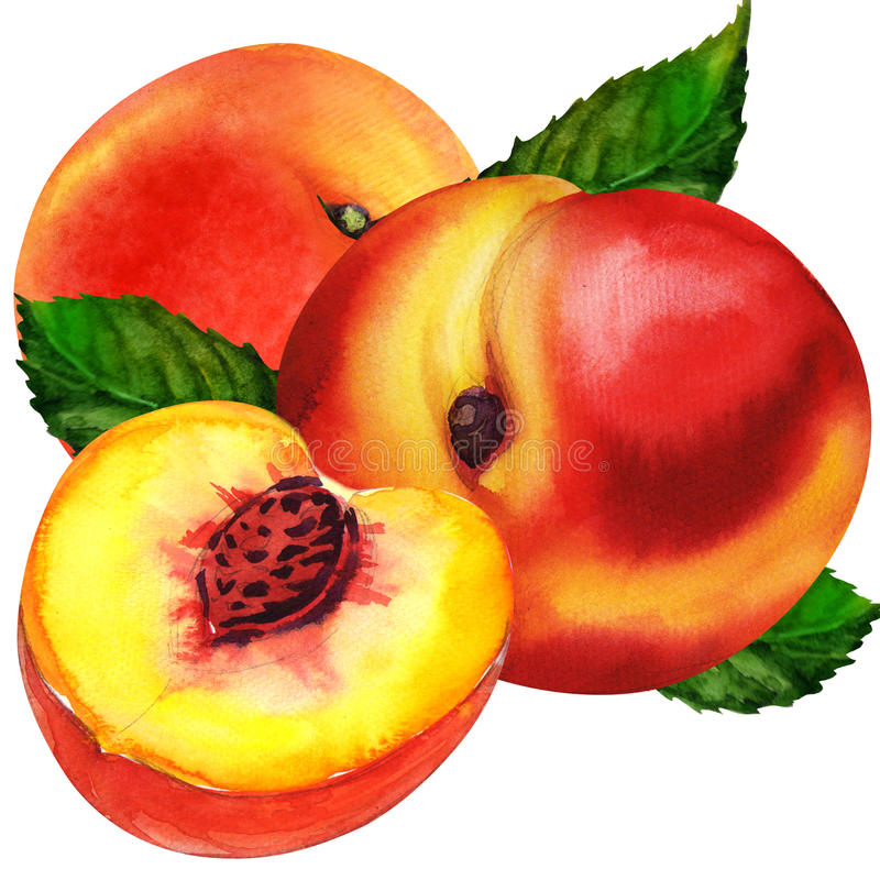 Group of peaches stock illustration