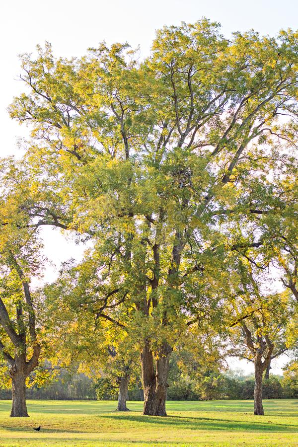 Group of pecan trees at berry springs. Park in the fall photo taken November 16, 2017 royalty free stock image