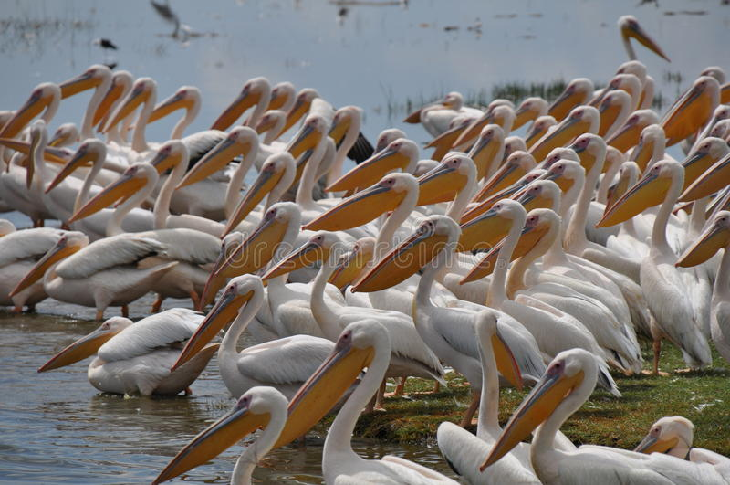 Group of pelicans. At the waterfront stock image