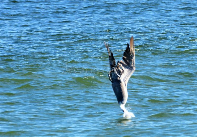 A pelican dives head-first into the ocean to catch a fish. Pelicans are widespread on freshwater, estuarine and marine wetlands and waterways including lakes stock images