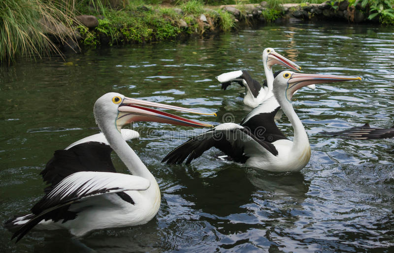 Group of pelicans in a pond stock photos