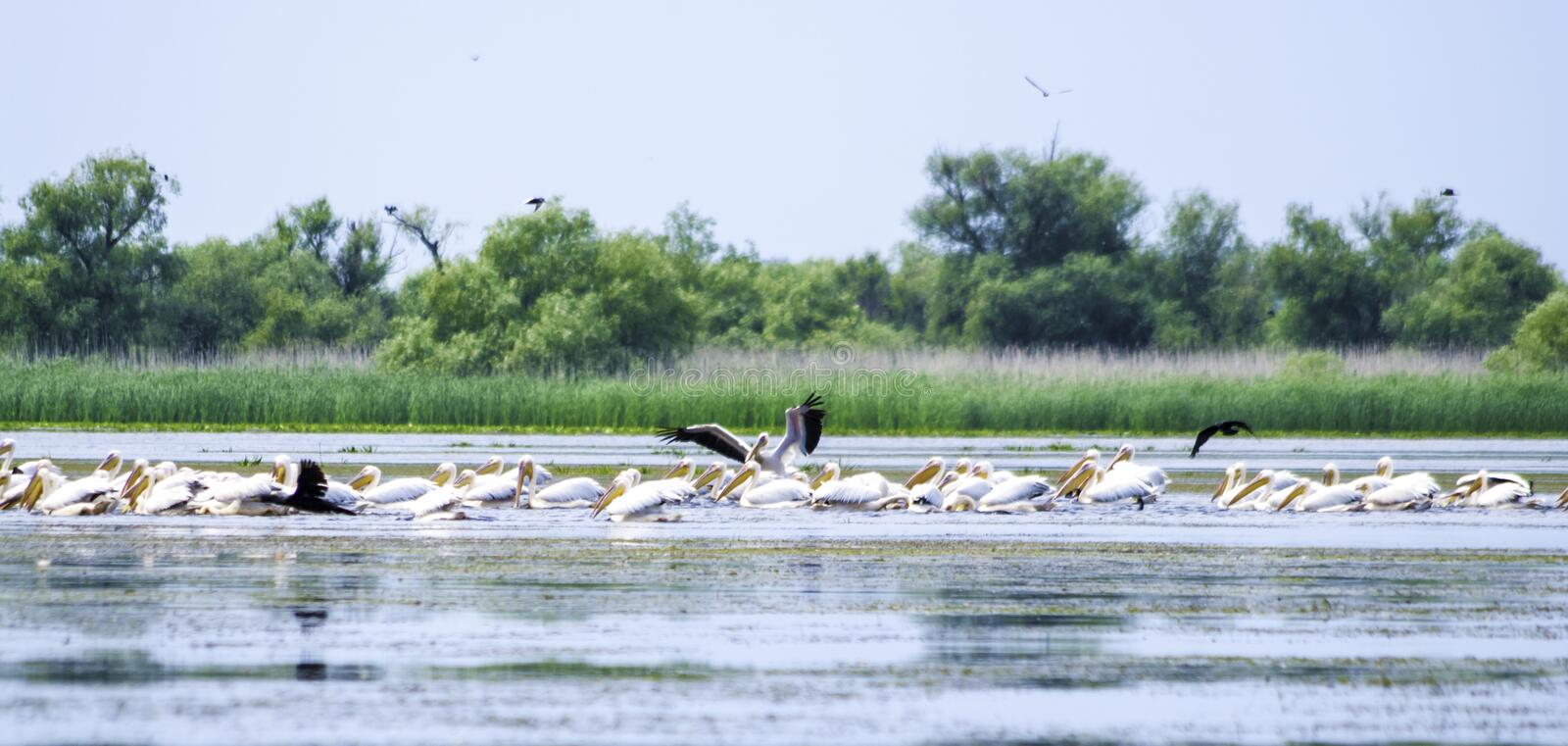 Group of pelicans taking flight. Wild flock of common great pelicans taking flight Pelecanus onocrotalus . Pelican colony in D. Anube Delta Romania stock photos