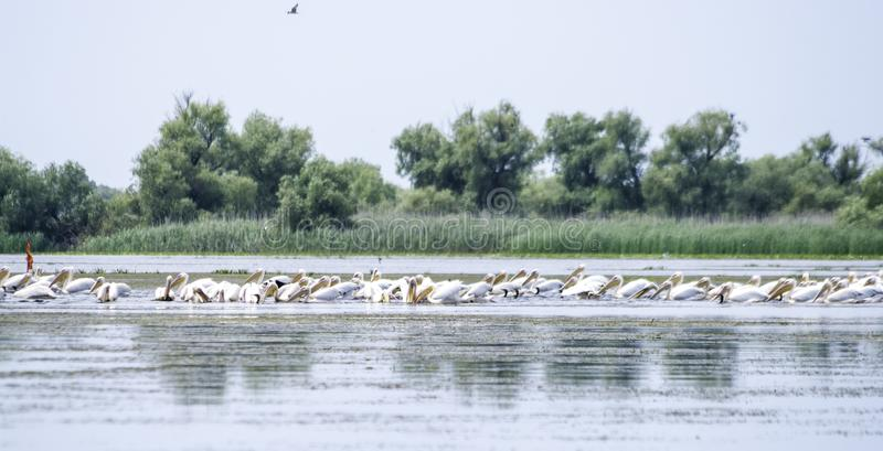 Group of pelicans taking flight. Wild flock of common great pelicans taking flight Pelecanus onocrotalus . Pelican colony in D. Anube Delta Romania stock photography