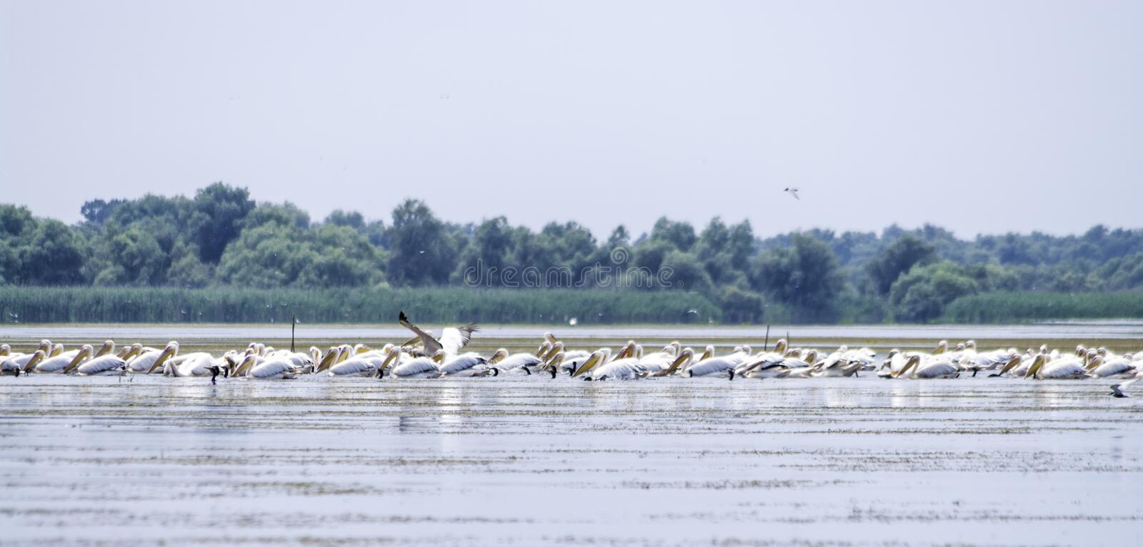 Group of pelicans taking flight. Wild flock of common great pelicans taking flight Pelecanus onocrotalus . Pelican colony in D. Anube Delta Romania stock image