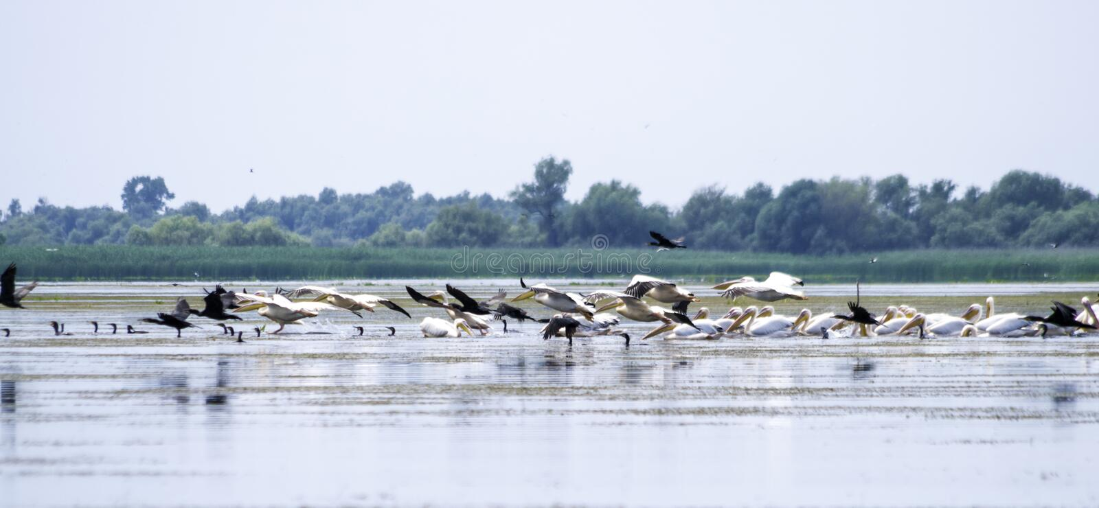 Group of pelicans taking flight. Wild flock of common great pelicans taking flight Pelecanus onocrotalus . Pelican colony in D. Anube Delta Romania royalty free stock photography