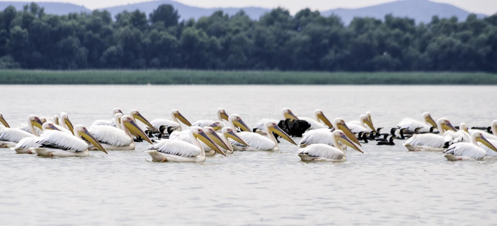 Group of pelicans taking flight. Wild flock of common great pelicans taking flight Pelecanus onocrotalus . Pelican colony in D. Anube Delta Romania royalty free stock photo