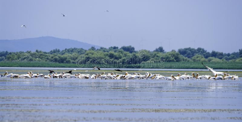 Group of pelicans taking flight. Wild flock of common great pelicans taking flight Pelecanus onocrotalus . Pelican colony in D. Anube Delta Romania stock photo