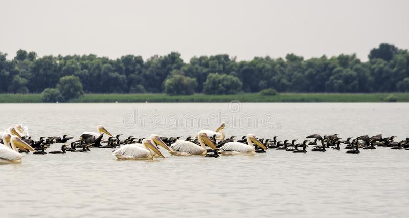 Group of pelicans taking flight. Wild flock of common great pelicans taking flight Pelecanus onocrotalus . Pelican colony in D. Anube Delta Romania royalty free stock photos