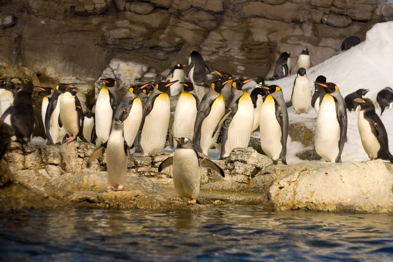 Download Group Of Penguins Royalty Free Stock Photos - Image: 1411968