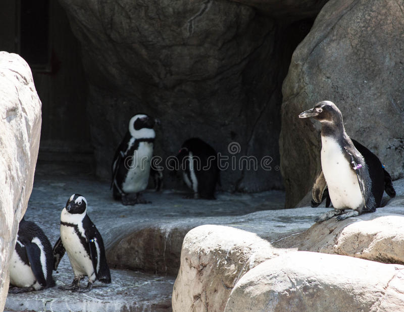 Group of penguins. A group of penguins on the rocks royalty free stock photo