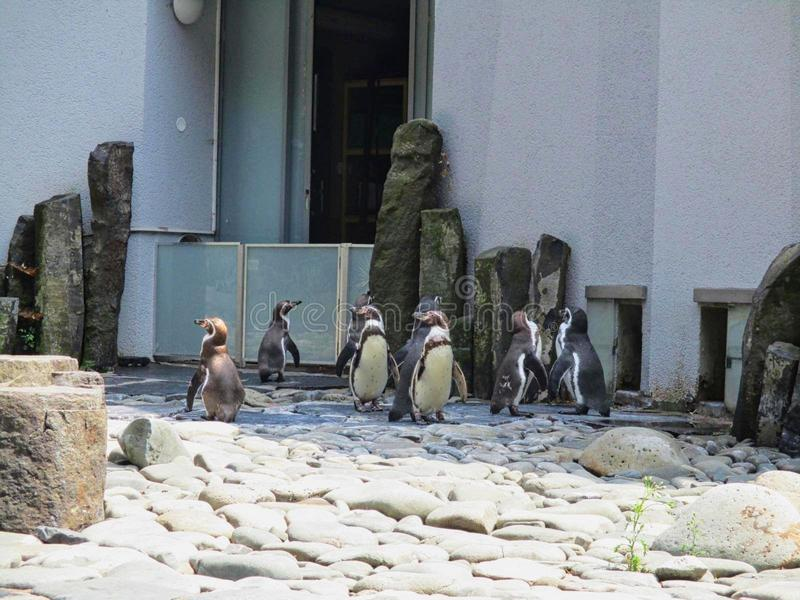 a group of penguins in the zoo stock images
