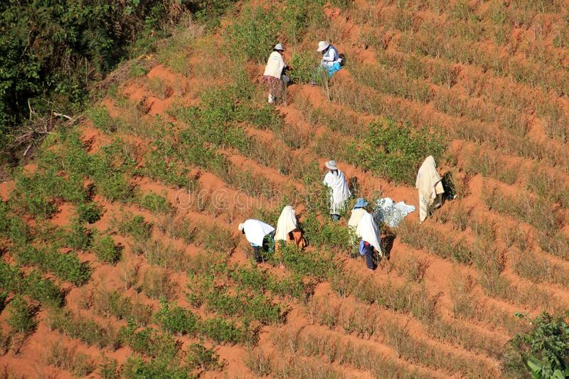 Group of People harvesting coca plants stock photos
