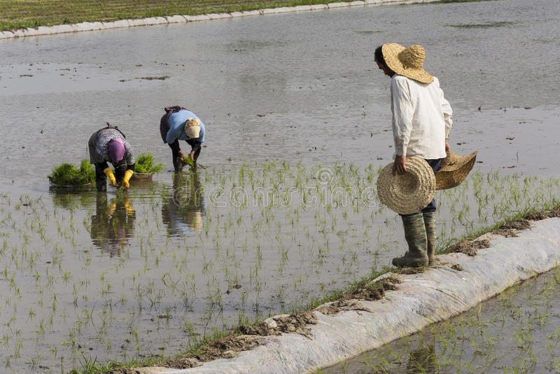 Group of People working on rice farm for planting new rice sprouts through the wet paddy field stock photos
